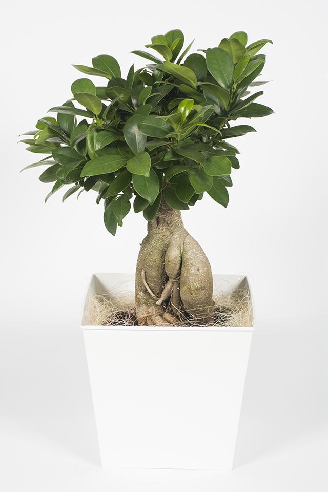 Plante verte ficus bonsa livraison fleurs le mans for Magasin plante verte