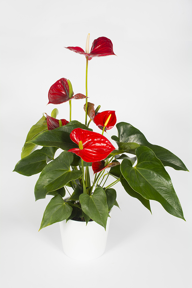 plante fleurie d 39 int rieur anthurium rouge livraison fleurs le mans. Black Bedroom Furniture Sets. Home Design Ideas