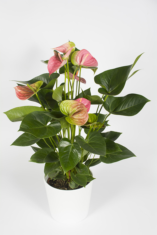 plante fleurie d 39 int rieur anthurium rose livraison fleurs le mans. Black Bedroom Furniture Sets. Home Design Ideas