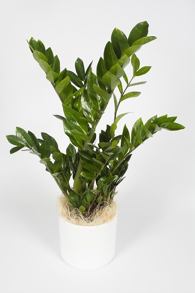 plante verte zamioculcas livraison fleurs le mans. Black Bedroom Furniture Sets. Home Design Ideas
